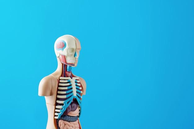 Anatomiczny model ludzkiego ciała z narządami wewnętrznymi na niebieskim tle. manekin na ciało anatomiczne