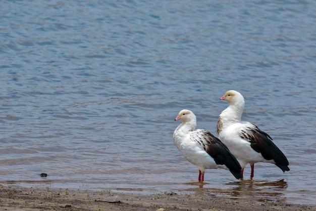 Andean goose (oressochen melanopterus), piękna para spacerująca nad brzegiem jeziora pomacocha.