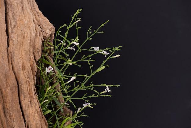 Andrographis paniculata lub kariyat gałąź kwiaty i zielone liście na czarnym tle.