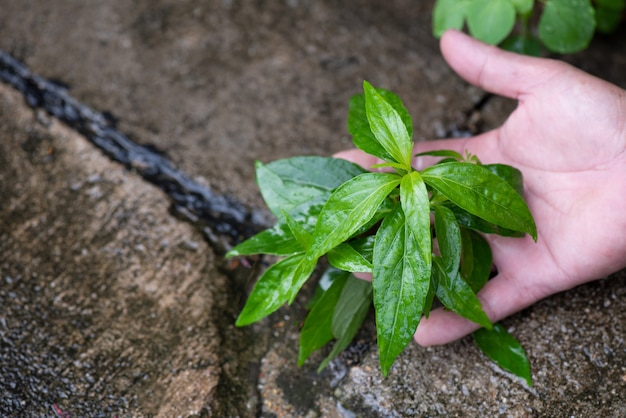 Andrographis paniculata lub kariyat oddział zielone liście pod ręką.