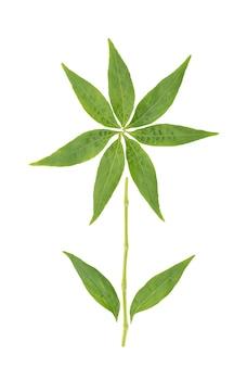 Andrographis paniculata lub kariyat zielone liście na białym tle z wycinek path.top view, flat lay.