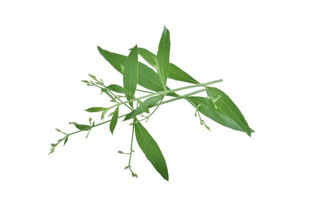 Andrographis paniculata roślina na białym tle