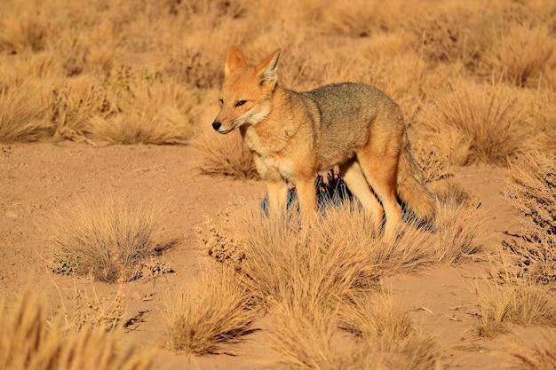 Andyjski lis lub zorro culpeo w polu szczotki pustyni, altiplano chile, ameryka południowa
