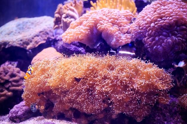 Anemon z clownfish, tajlandia podwodny