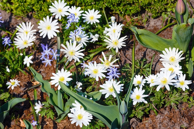 Anemone blanda, odmiana white splendor o wiosennych kwiatach