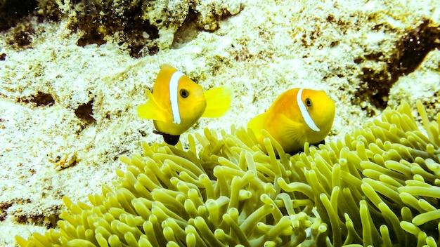Anemonefish ukrywa się w swoim anemonie, malediwy.
