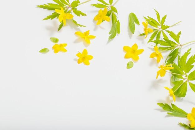 Anemonowa jaskier wiosna kwitnie na białym tle