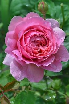 Angielska róża w ogrodzie. angielska różowa róża w wiosennym ogrodzie.
