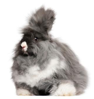Angielski angorski królik przed białym tłem