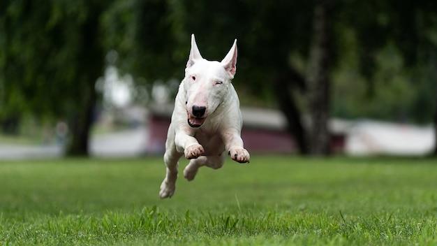 Angielski biały bull terrier na zielonym trawniku