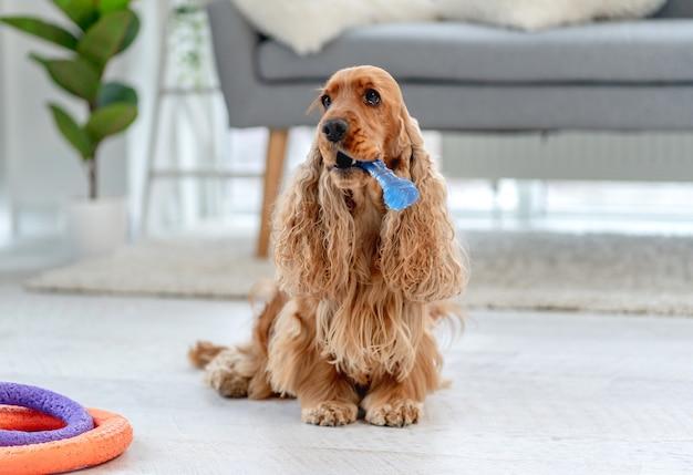 Angielski cocker spaniel pies trzyma zabawkę w ustach siedząc na podłodze w domu