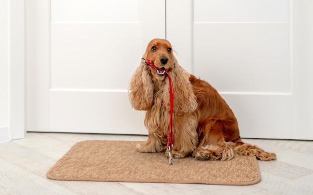 Angielski cocker spaniel pies trzymający czerwoną smycz i czekający na spacer, siedząc obok drzwi w domu