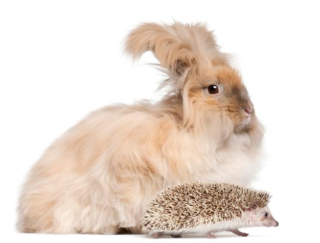 Angielski królik angora i jeż czteropalczasty
