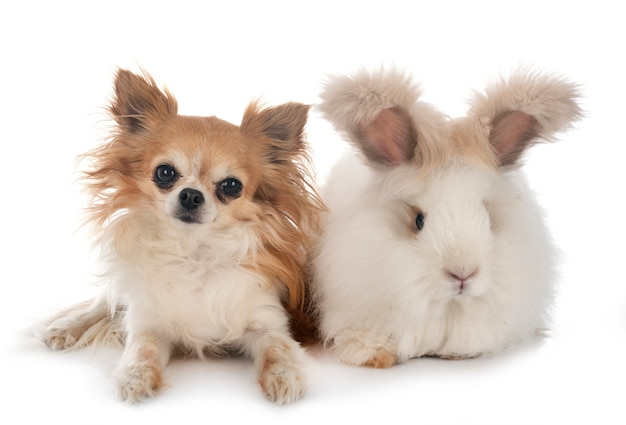 Angielski królik angorski i chihuahua