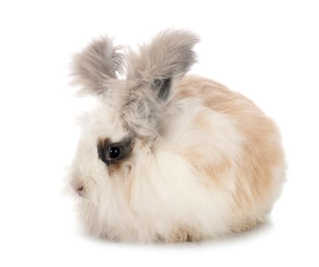 Angielski królik angorski