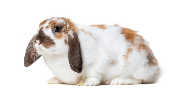 Angielski lop królik przeciw białemu tłu