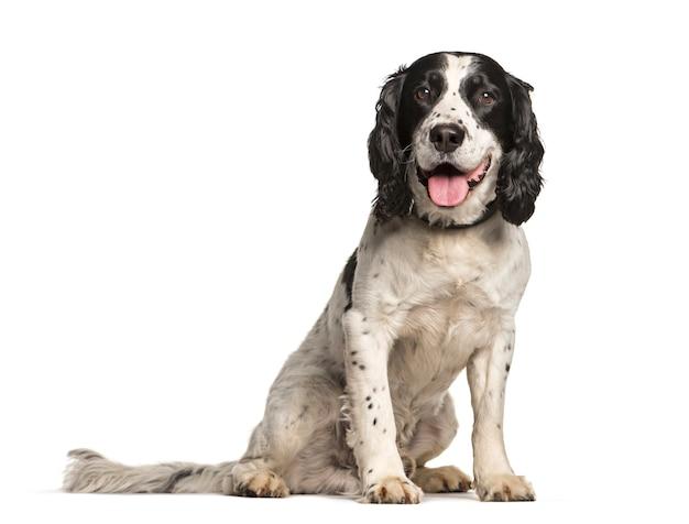 Angielski springer spaniel pies siedzi i dyszy, wycięty
