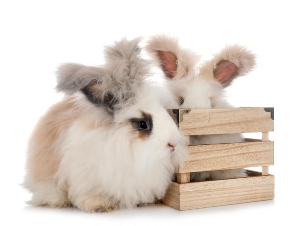 Angielskie króliki angorskie