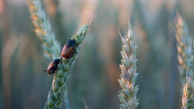 Anisoplia segetum owad, szkodnik na polach traw.