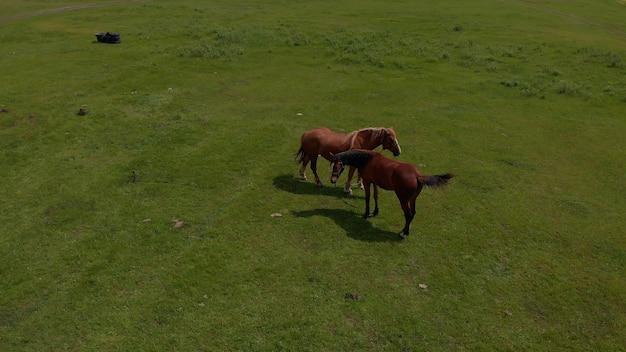 Antena nad dwoma dzikimi końmi w dzikiej przyrody pól przez łąkę. hodowla koni, ekologia, jeździectwo, koncepcja mocy eksploracji. brązowy koń domowy pasie się na łące w słoneczny wiosenny dzień