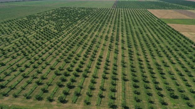 Antenowe drone widok z góry rzędów plantacji zielonych drzew owocowych. uprawiany krajobraz polny.
