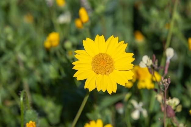Anthemis tinctoria cota tinctoria lub złote marguerite żółte kwiaty rumianku