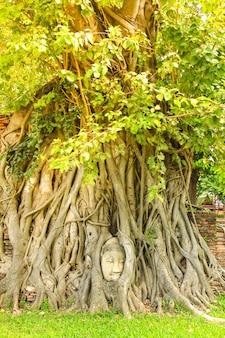 Antyczna buddha głowa w drzewie zakorzenia przy watem mahathat w ayutthaya dziejowym parku, tajlandia.