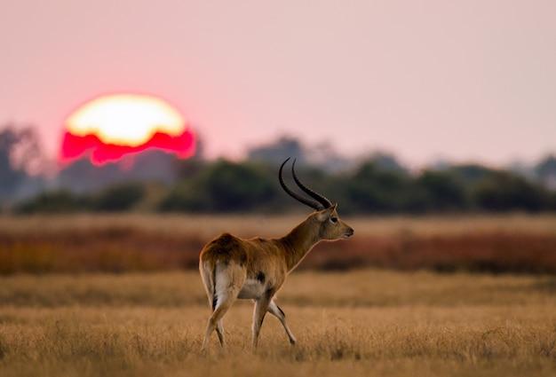 Antylopa stojąca z dużym wschodem słońca