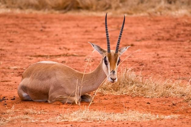 Antylopy w parku narodowym tsavo w afryce zachodniej kenii