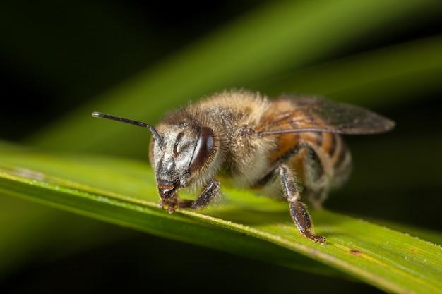 Apis mellifera zachodnia miodowa pszczoła europejska na liściu