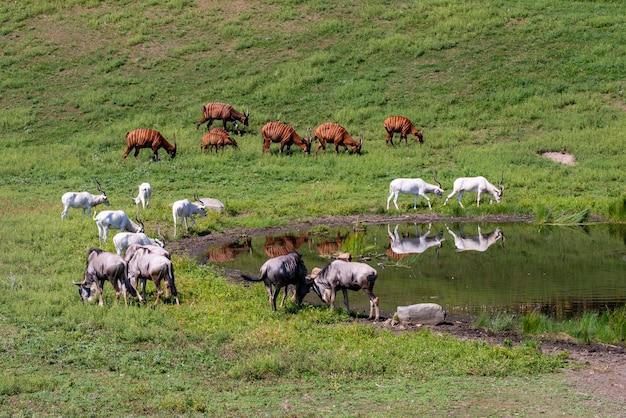 Apple valley w stanie minnesota. bongo, addax i wildebeest pasą się razem na pastwisku w pobliżu wodopoju.