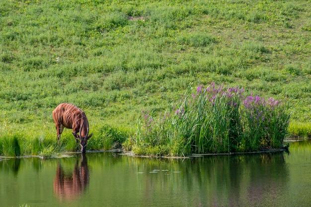 Apple valley w stanie minnesota. wypas bongo na pastwisku jest gatunkiem niemal zagrożonym.