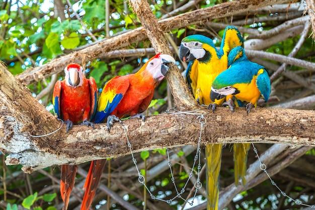 Ara (ara ararauna) papugi stoją na gałęzi drzewa