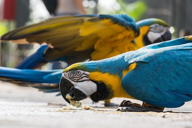 Ara caninde swobodnie jedząca i latająca w parku. arara caninde pochodzi z brazylii.