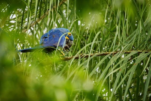 Ara Hiacyntowa Na Palmie W Naturalnym środowisku Darmowe Zdjęcia
