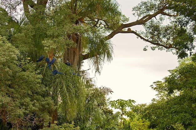 Ara hiacyntowa na palmie w naturalnym środowisku