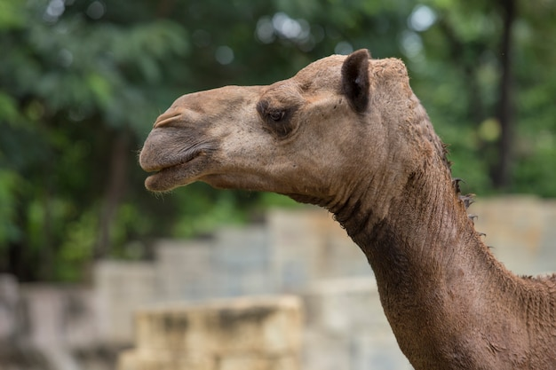 Arabski camel head close-up
