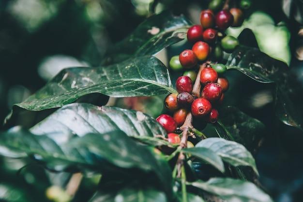 Arabskie drzewo kawowe na drzewie kawowym