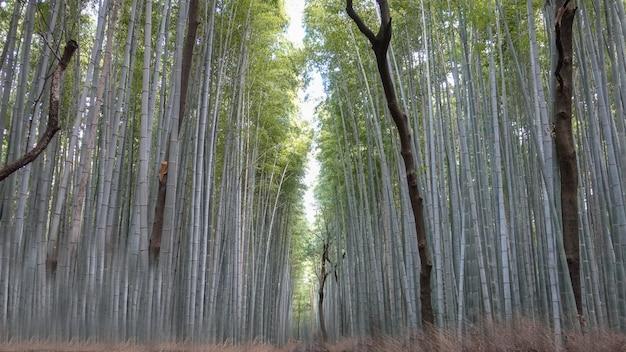 Arashiyama bamboo forest w kioto w japonii w listopadzie