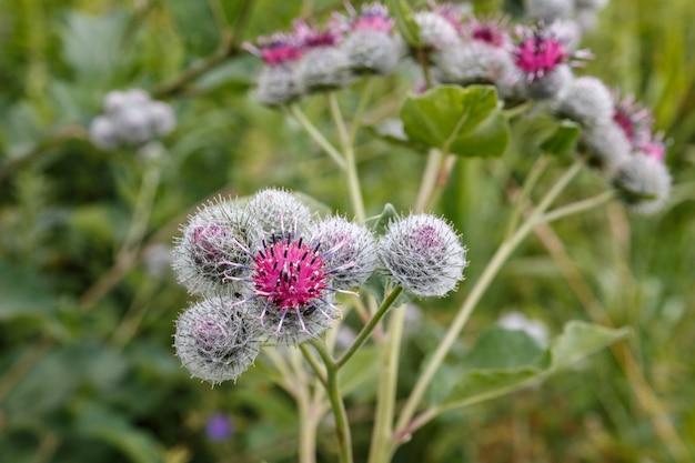 Arctium lappa, łopian większy. kwitnąca roślina lecznicza łopian. kwiat łopianu.
