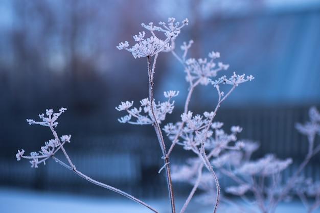 Arcydzięgiel mrożony w mroźną zimę