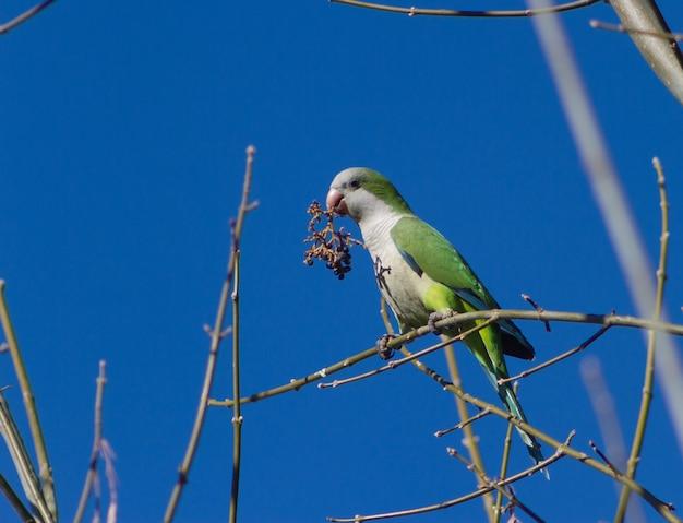 Argentyńska papuga jedząca owoce w swoim naturalnym środowisku