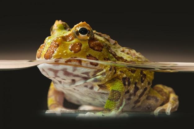 Argentyńska rogata żaba