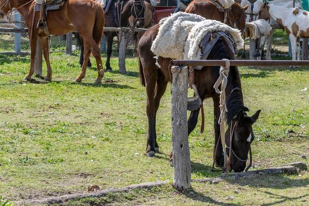 Argentyński koń gaucho w corral, wiązany.