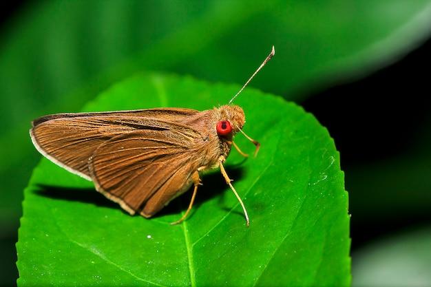Aria matapa na liściach