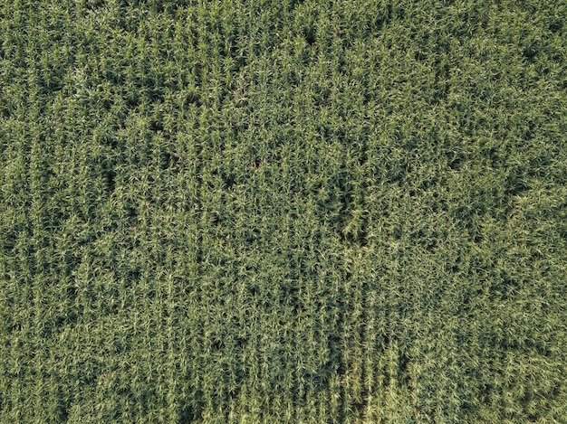 Arial widok trzciny cukrowa pola rw popołudniu z cieniem chmura i natura pojęcia rolnictwa tło