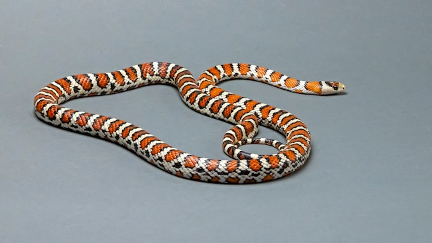 Arizona mountain kingsnake na szarym tle
