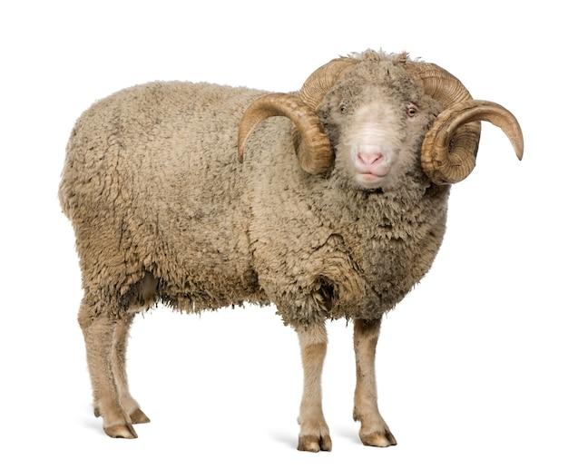 Arles owiec rasy merynos, baran, stojący