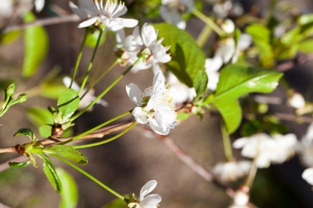 Aromatyzowane białe kwiaty wiśni na tle natłuszczonego ogrodu