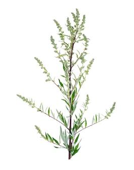 Artemisia absinthium z liścia tłem